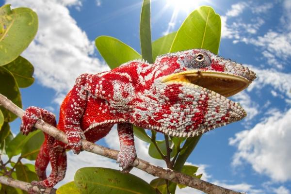 reunion-kalandnyaralas-tura-kameleon-chameleon-allatok-tropus-napfeny759D8AD5-B89D-D2EF-759E-45D4B6E22D51.jpg