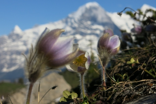 svajc-trekking-tura-virag-ultra-eiger-monch-jungfrau964355C0-AF6F-B607-7C84-BB206B5A046E.jpg